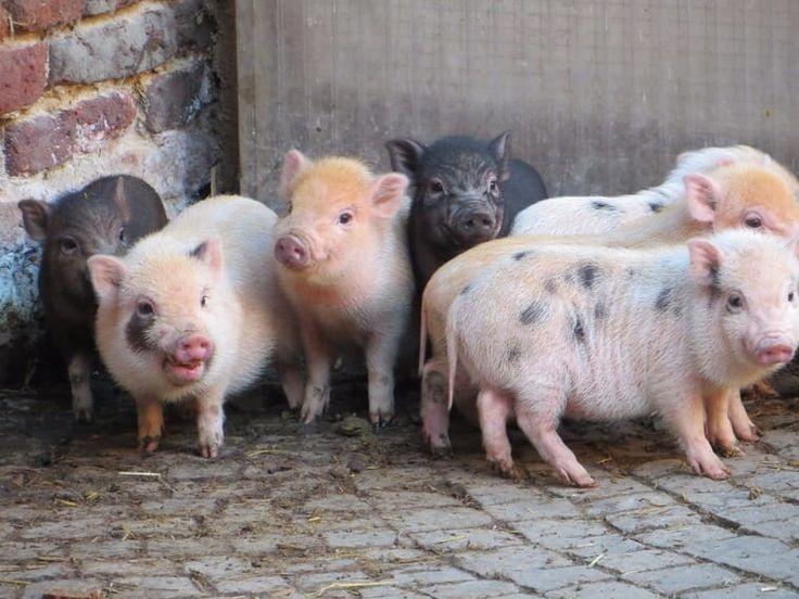 die besten 17 ideen zu minischwein auf pinterest schweine minischweine und ferkel. Black Bedroom Furniture Sets. Home Design Ideas