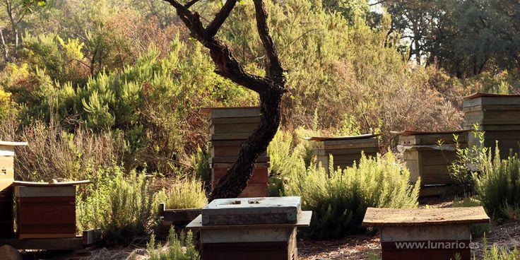 Las constelaciones de fuego favorecen la producción de miel y el desarrollo de las abejas reina.