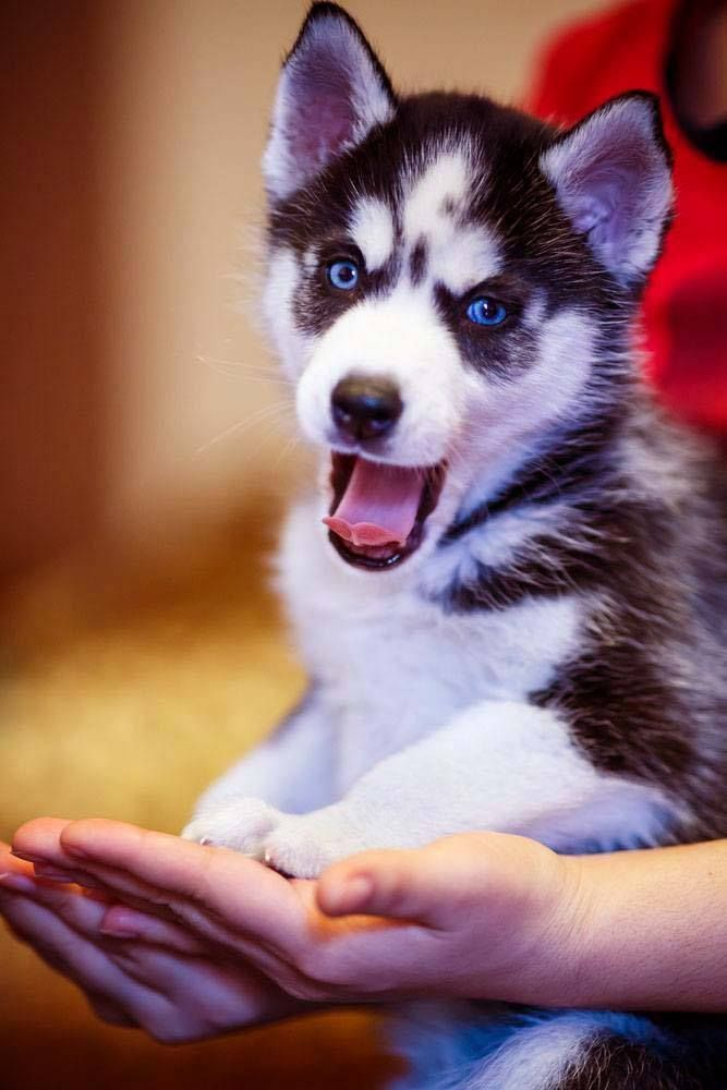 Beautiful (and cute) Huskies like this one deserve beautiful Siberian Husky names like... Denali, Koda or Perseus. Here's more for just this breed... http://www.dog-names-and-more.com/Siberian-Husky-Names.html