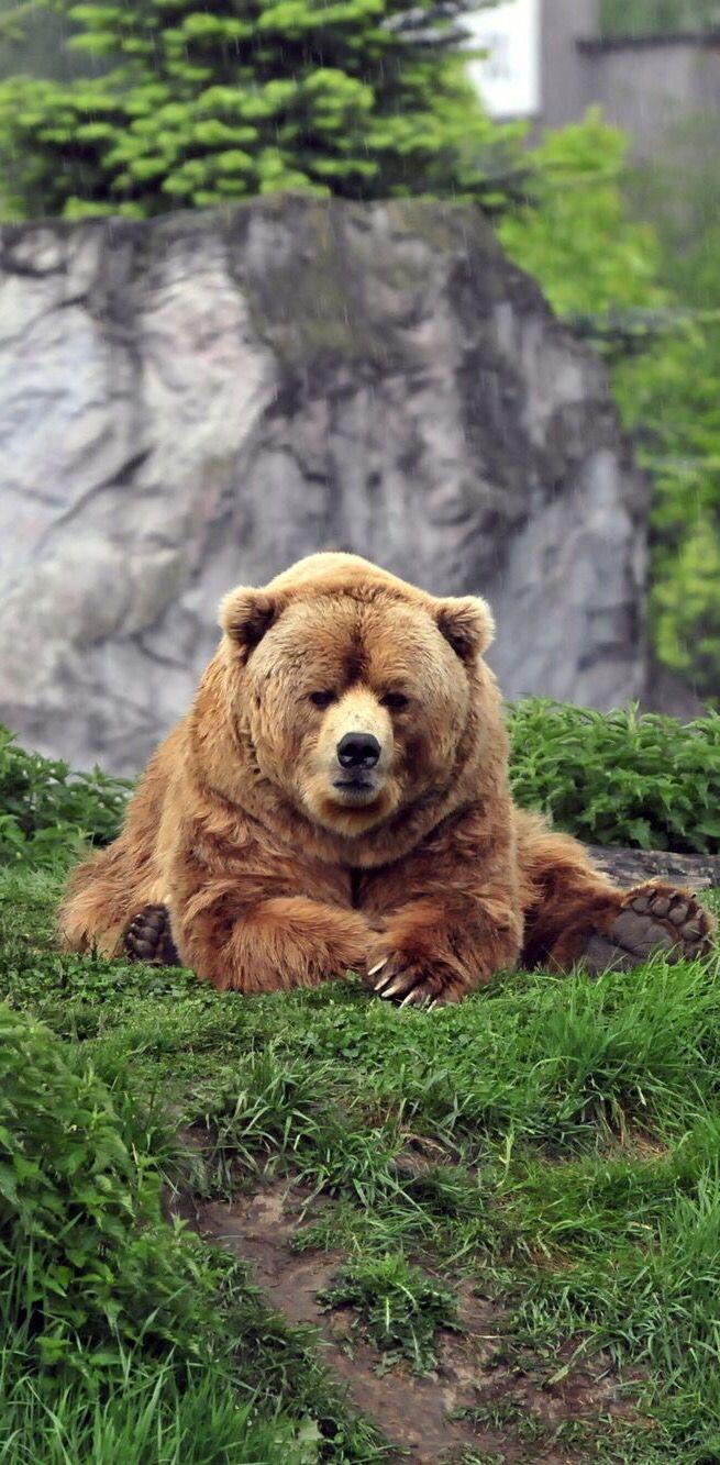 Brown Bear ~ lying on the grass