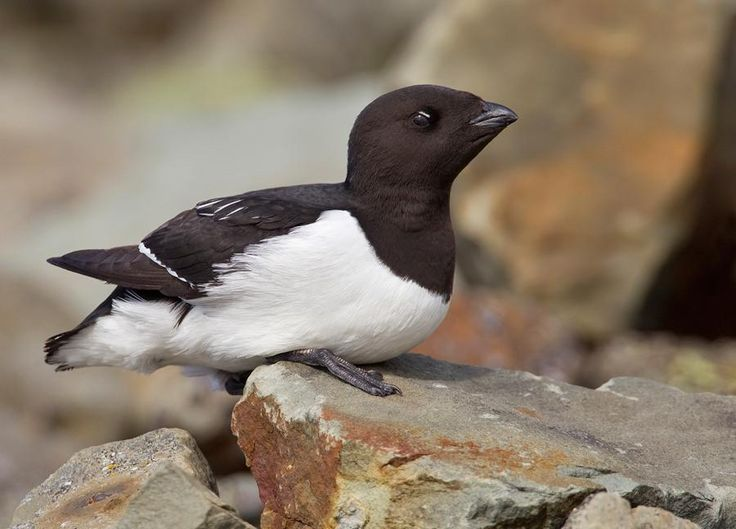 The Little Auk, or Dovekie (Alle alle),[2] is a small auk, the only member of the genus Alle. It breeds on islands in the high Arctic. Their breeding habitat is coastal mountainsides, where they have large colonies. They nest in crevices or beneath large rocks, usually laying just one egg. The species is also commonly found in the Norwegian Sea.