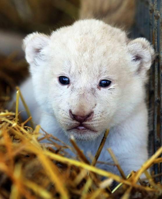 Germania, nati 4 cuccioli di leone bianco - Corriere.it