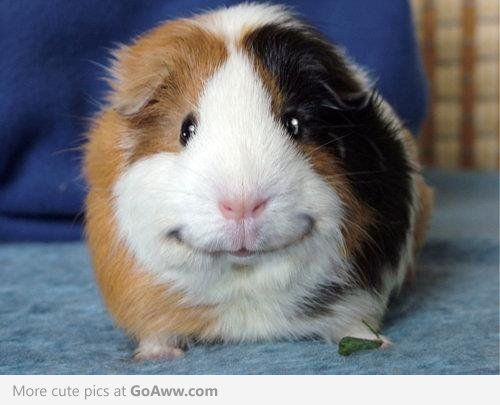 Adorable smiling guinea pig - he just looks so content....yes sir....I am one happy guinea pig!