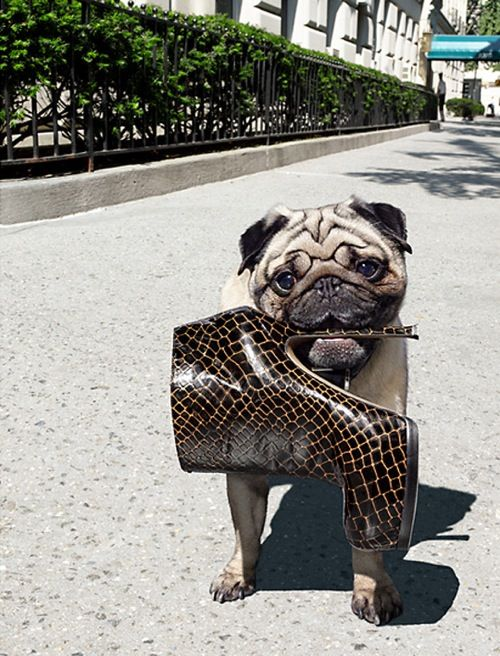 vogue pugShoes, Dogs Vogue, Pugs Pugmugsnotherdogstuff, Dogs Fashion, Dogs Breeds, Girls Fashion, Pugs Life, Dogs Life, Naughty Puggies