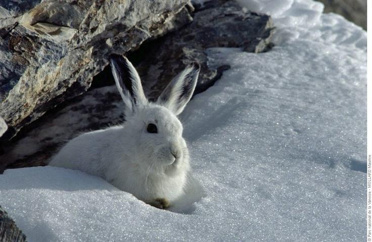 Lièvre variable en pelage d'hiver