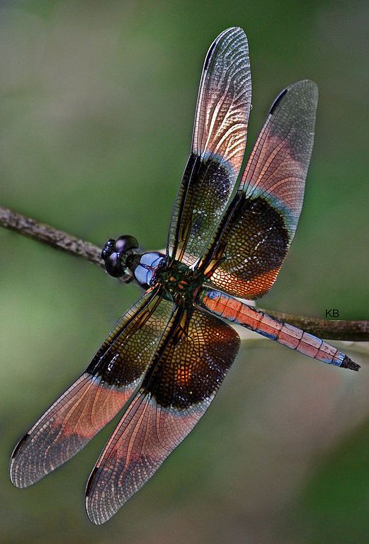 Dragonfly Wings | File:Dragonfly colourful wings.jpg - Wikimedia Commons