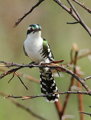 Diederik cuckoo, Chrysococcyx caprius, at Pilanesberg Nati…   Flickr