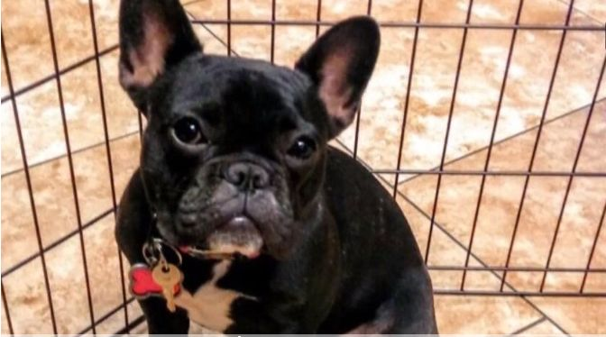 "UPDATE! FOUND AND SAFE BACK HOME❤️❤️❤️❤️ 10/4/17 In the midst of the chaos on the night of the Las Vegas massacre outside of the Mandalay Bay Hotel, a California man's dog ran away in terror. The French bulldog, named ""Roulette,"" or ""Rou,"" was as frightened by the loud noise and screaming at the Route 91 Harvest Festival as any of the people …"