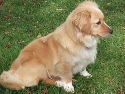 Golden Retriever/Corgi mix. So pretty!