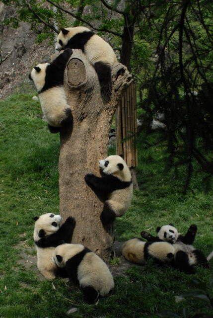 Osos panda trepando y jugando en un arbol  [25-10-15]