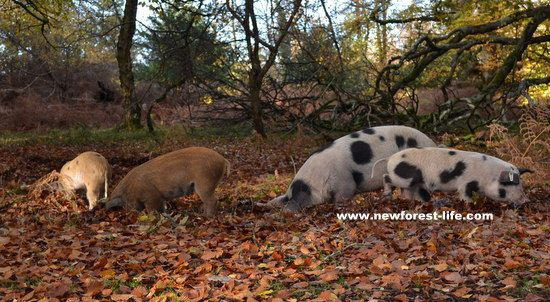 New Forest pigs in autumn leaves looking for acorns