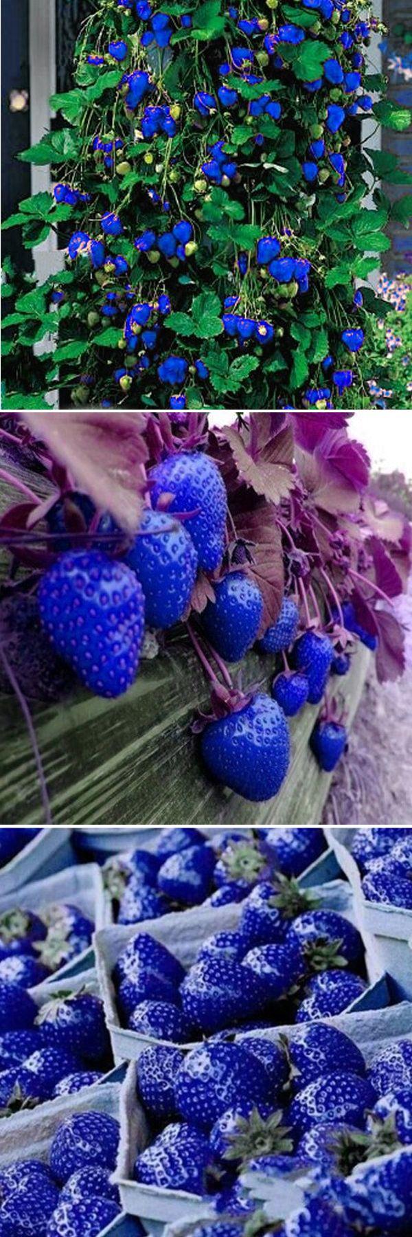 500Pcs Blue Strawberry Rare Fruit Vegetable Seeds Bonsai Edible Garden Climbing Plant #plant #strawberry #bonsai #GORGEOUS