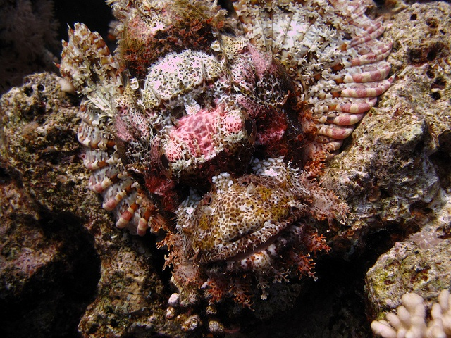 That's one cute face! scorpion fish - Sharm el Sheikh, Egypt
