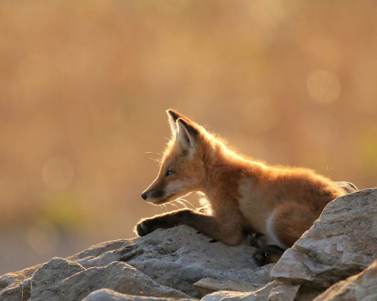 Red Fox Cub by Scott Zimmermann on 500px