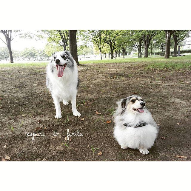 #ボーダーコリー #ボーダーコリーブルーマール #ブルーマール #ブルーマールボーダーコリー #ミニチュアダックス #ミニチュアダックスフンド #シルバーダップル #愛犬 #家族 #お散歩 #公園 #フリル #ポプリ #bordercollie #bordercolliebluemerle #bluemerle #bluemerlebordercollie #dachshund #miniaturedachshund #silverdapple #dogs #dog