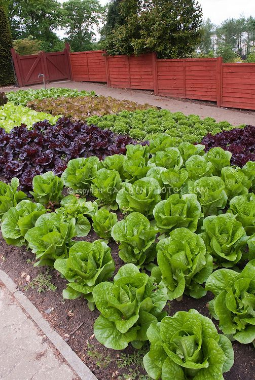 Red lettuce, green lettuces - vegetables that like an early start