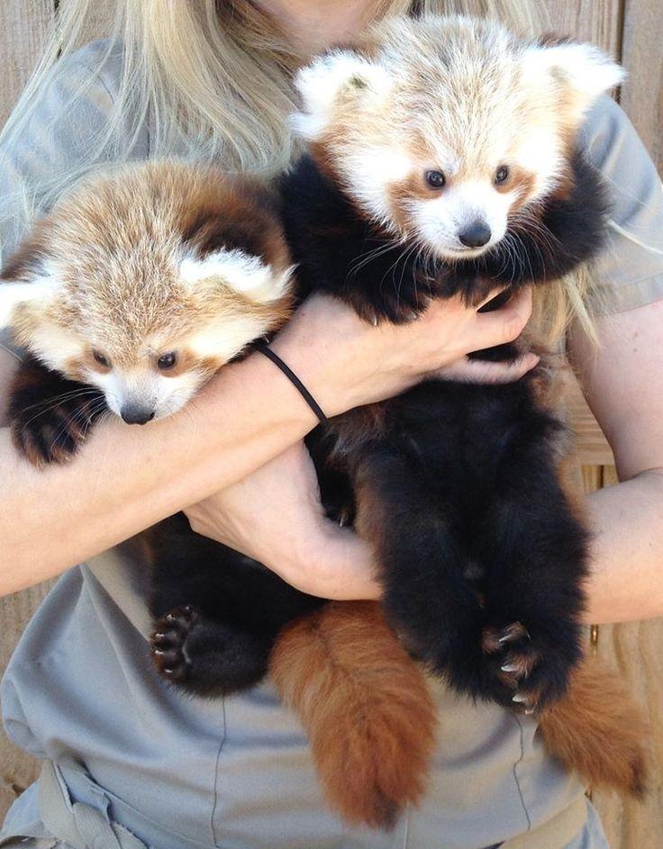 Baby Red Panda twins - Lincoln, Nebraska