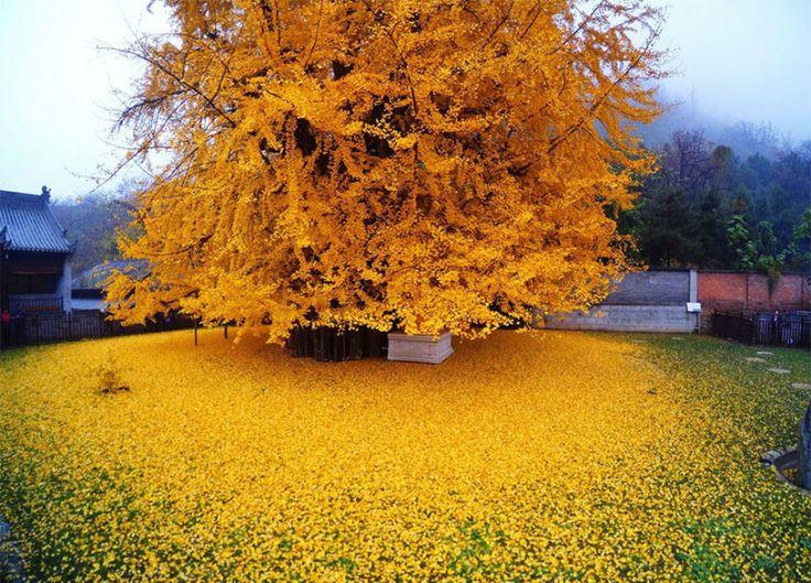 Magnifico..Pioggia d'oro: albero vecchio 1400 anni crea un meraviglioso tappeto di foglie - Bioradar Magazine
