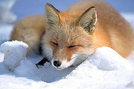 Vulpes vulpes laying in snow.jpg
