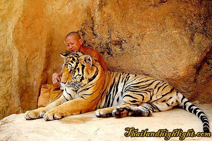 Tiger Temple wild animal rescue foundation to look at surrounding around the Tiger Temple then touch the nature of tigers and other kind of wild animals such as deer, wild fowl, wild boar etc