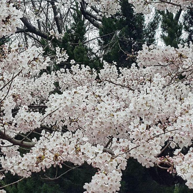 Cherry blossom season is upon us despite the rain's best efforts to ruin it. Everyday the trees get more beautiful! #cherryblossoms #sakura #벚꽃 #springtime