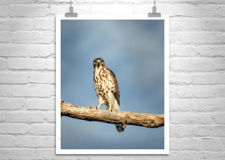 Hawk Bird Art, Nature Photography, Vertical Wall Art, Art Print, Wildlife Art, Hawk Picture, Bird on a Limb, Arizona Birds, Minimalist by MurrayBolesta on Etsy