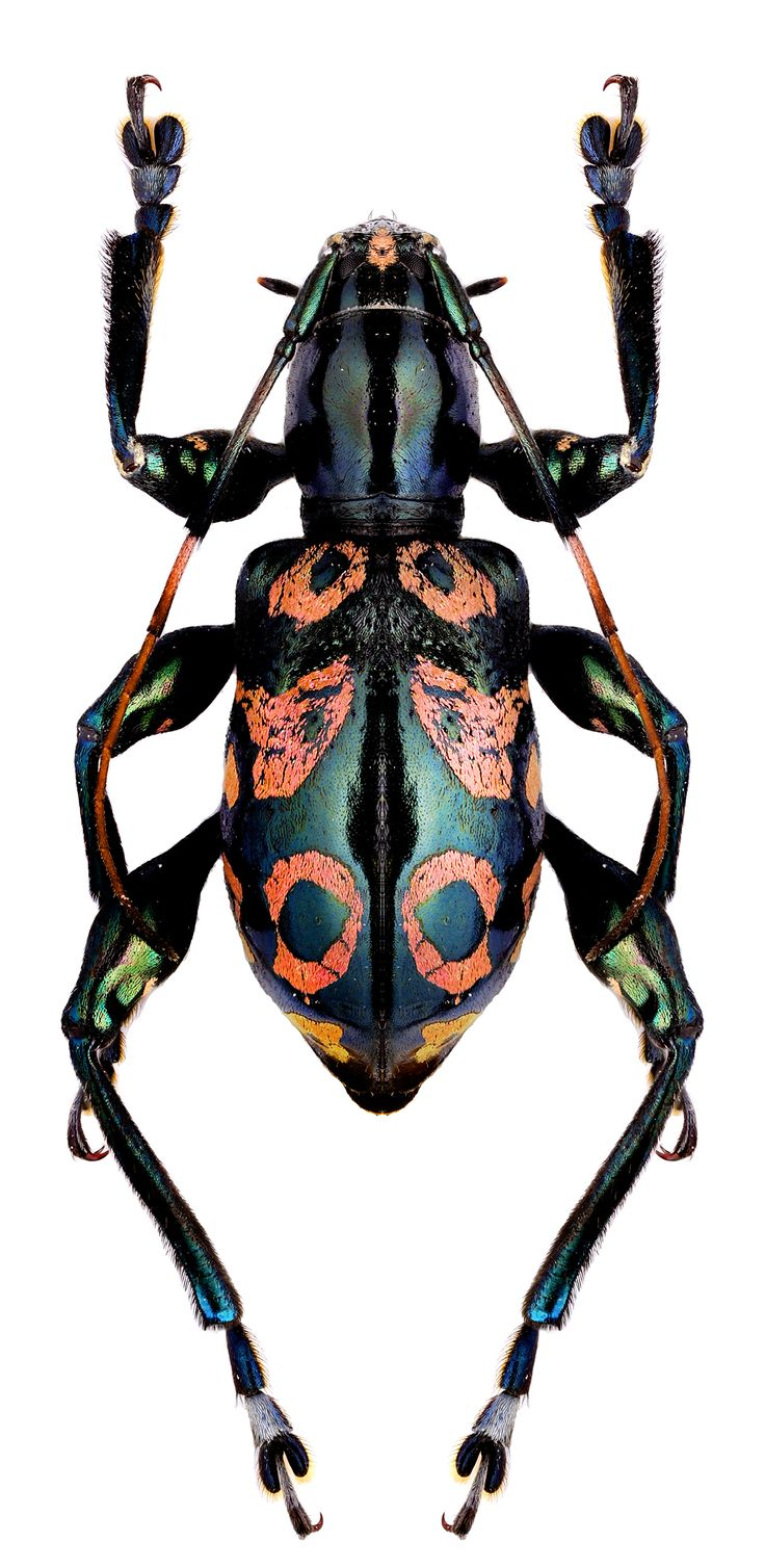 Photos   BUGS   INSECTS   Doliops dupaxi. Best 25  Black beetle ideas on Pinterest   Black hair braid