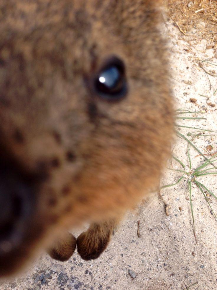 Quokka close up