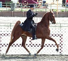 I just read in a book that Saddlebred's high tails are NOT natural!! They cut some of the muscles in the top of the tail in such a way that the tail is permanent high. Then in shows they will put a pice of chewed ginger (called gingering) in the rectum as a irritant. This book was copywrited in 2001 so the practices may not continue but I think that this is so sad for the horses!