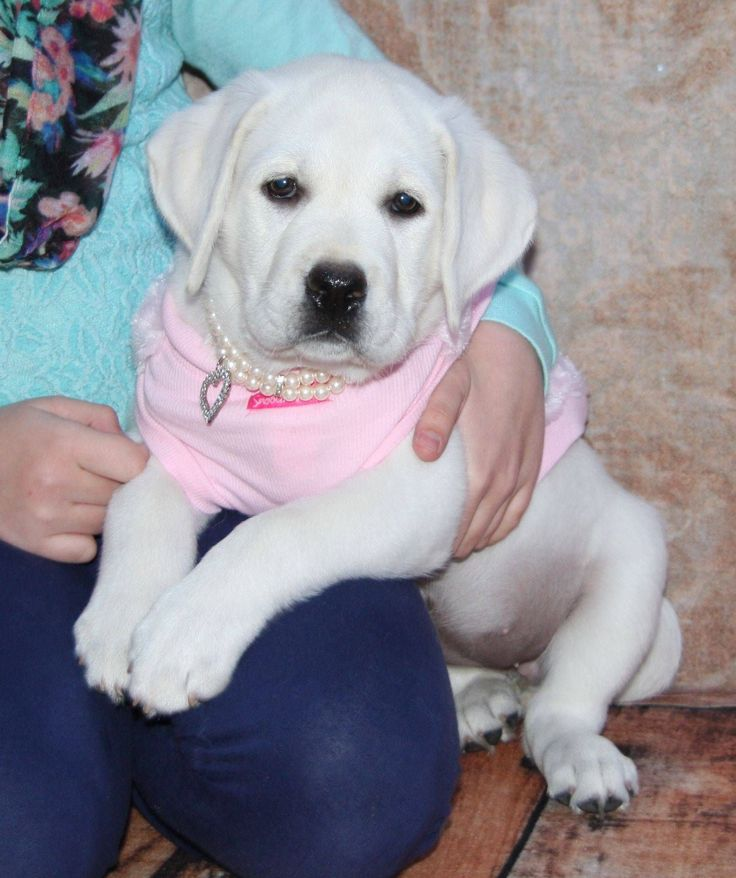 White Labrador Puppy and Puppies for sale. Buy a white Lab puppy.