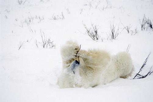 Polar Bear Playing W/ Bush Pt Gordon Hudson Bay Canada