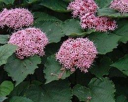 Új cikk: A hónap növénye szeptemberben a Borhy Kertészetben 1., http://kertinfo.hu/a-honap-novenye-szeptemberben-a-borhy-kerteszetben-1/, ezekben a témakörökben:  #Borhykertészet #dekorláda #díszfű #Hó #hónapnövénye #Kert #kertészet #KertészetBudapesten #kertészetitermék #Kéziszerszámok #kő #Konyhakertieszközök #Mag #Növény, írta: Borhy Kertészet