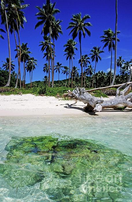 Coconut trees along Siviri Beach on the island of Efate