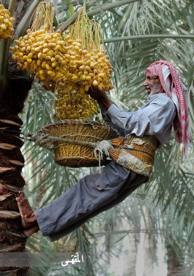 Palm Harvesting  Iraq #2tista