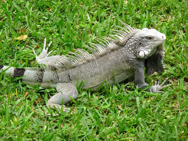 Leguaan, foto gemaakt op Curacao