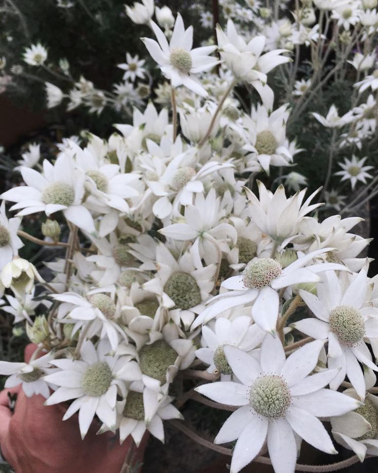another favorite australian native flower, actinotus helianthi - flannel flower, feels like flannel in texture.