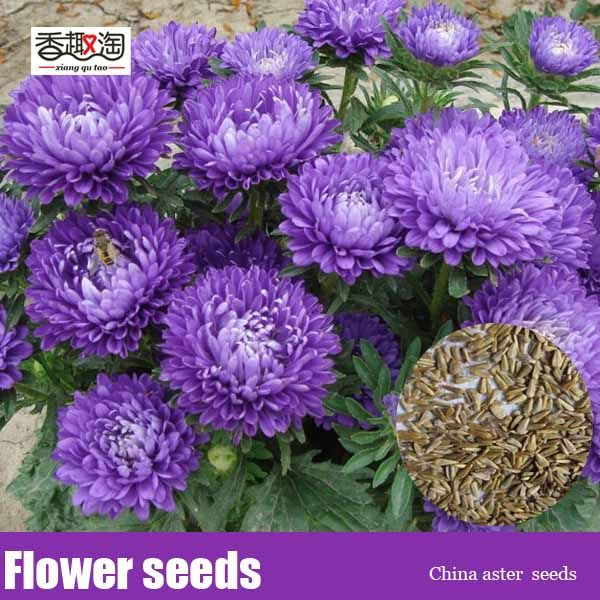 Balcony bonsai seeds China aster, chrysanthemum flower seeds 200pcs
