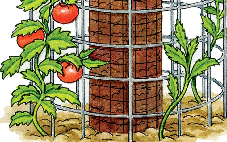 How to grow 90 pounds of tomatoes from 5 plants.  If space is limited, try growing your tomatoes in a double-ring cage.