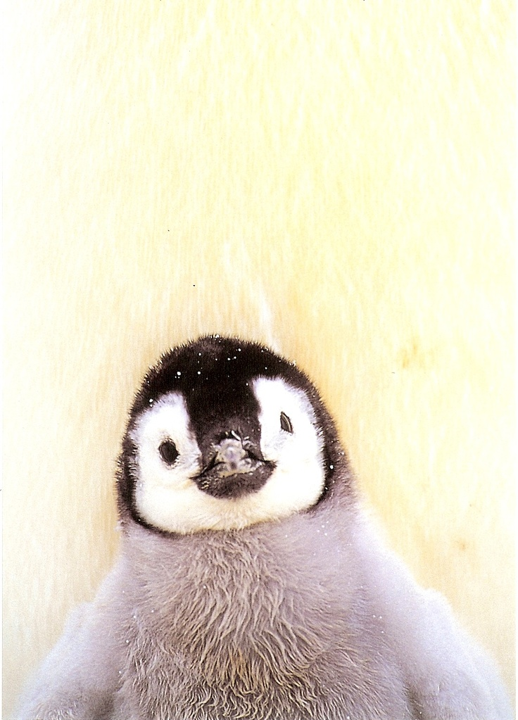 Best 25+ Baby penguins ideas on Pinterest   Cute penguins ...
