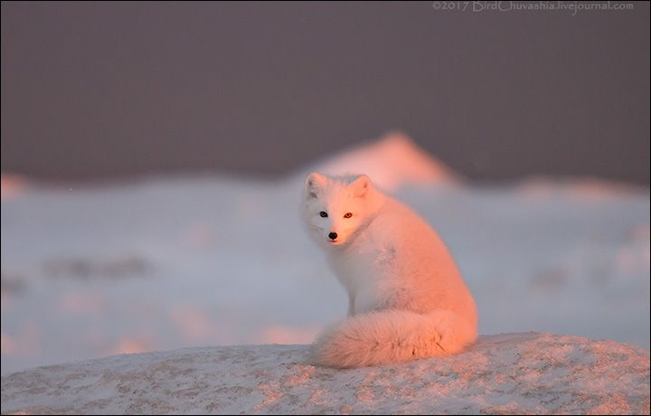 Stunning Pictures Of Pink Arctic Fox Basking In Sunrise On Yamal Peninsula Photo Alexander Yakolev Pet Fox Arctic Fox Big Animals