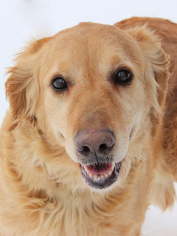 Best 25+ Golden retrievers for adoption ideas on Pinterest ...