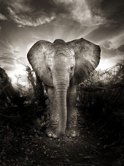 Kibo, a new life (Nairobi Nursery, Boxing Day 2009) by Joachim Schmeisser/David Sheldrick Wildlife Trust