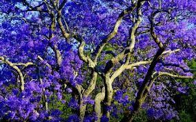 Jacaranda Tree Purple Flowers Australia Wow Pinterest More And Flowering Trees Ideas