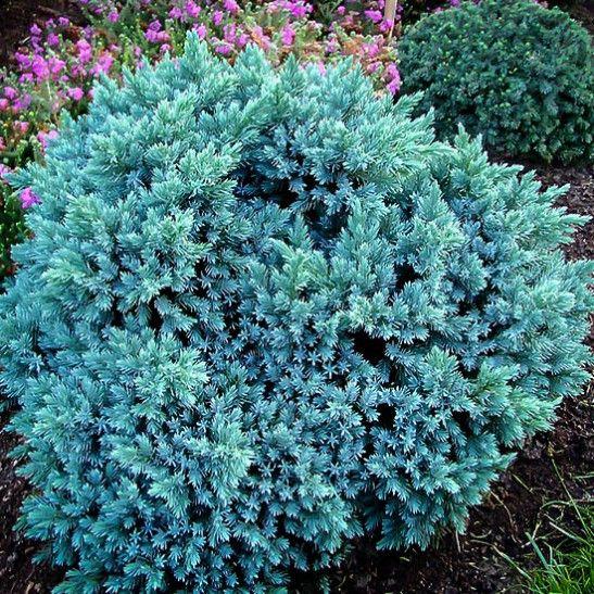 Blue Star Juniper Shrub Juniperus squamata 'Blue Star'