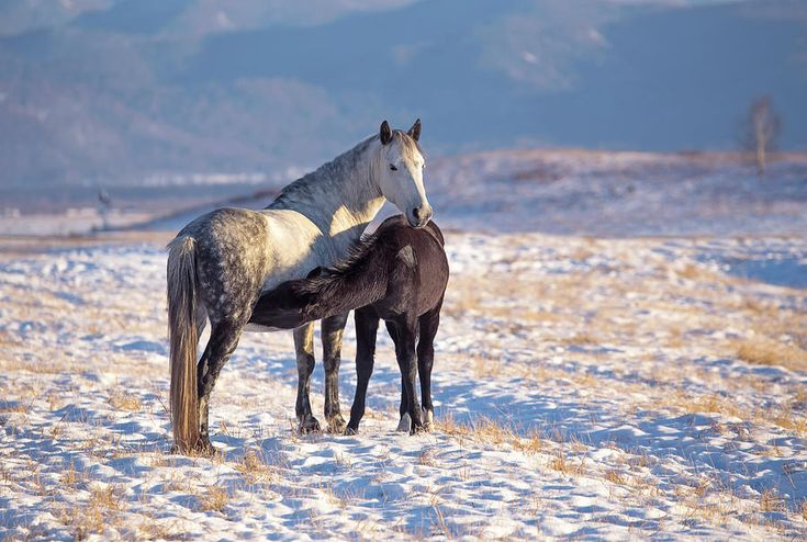 Mothers Love Photograph by Oksana Ariskina  #OksanaAriskina #OksanaAriskinaFineArtPhotography #FineArtPhotography #HomeDecor #FineArtPrint #Pillow #PrintsForSale #Horses #Mother #Altai