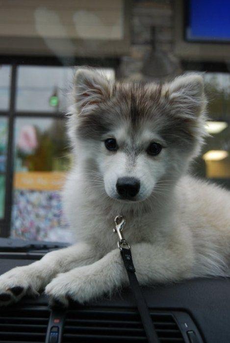 Alaskan Klee Kai or mini husky