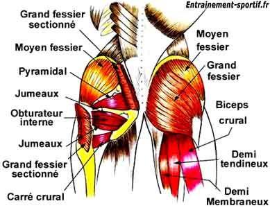 schéma anatomique des muscles des fesses