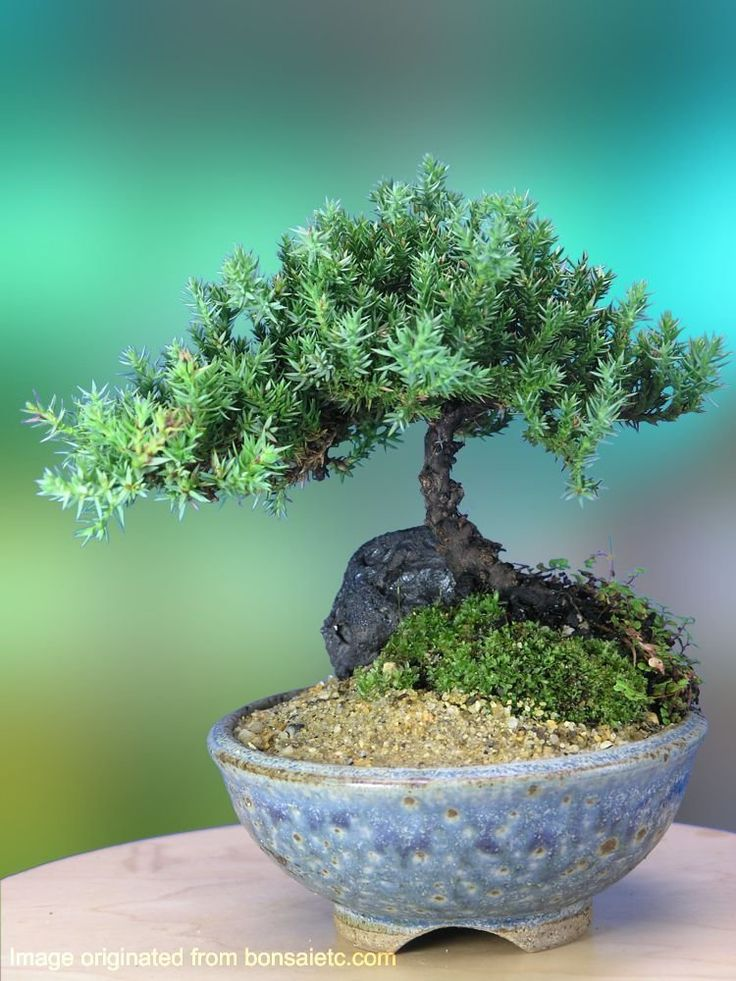 36 best garden bonsai images on pinterest bonsai for Bonsai indoor