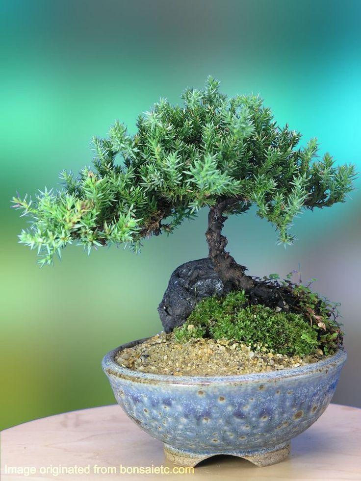 36 best GARDEN: Bonsai images on Pinterest | Bonsai ...