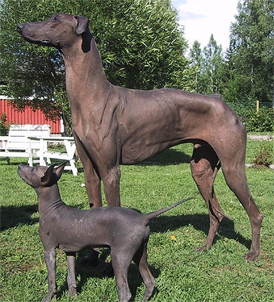 Peruvian Inca Hairless Dog